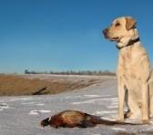 Pheasant Hunting Dog